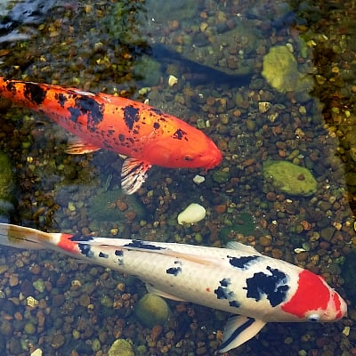 how to filter koi ponds