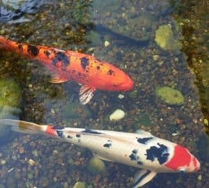 Two koi benefitting from proper water filtration