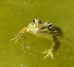 Green algae in ponds can be cleared with a UV clarifier