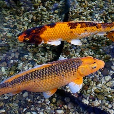 several koi benefit from a submersible pond pump