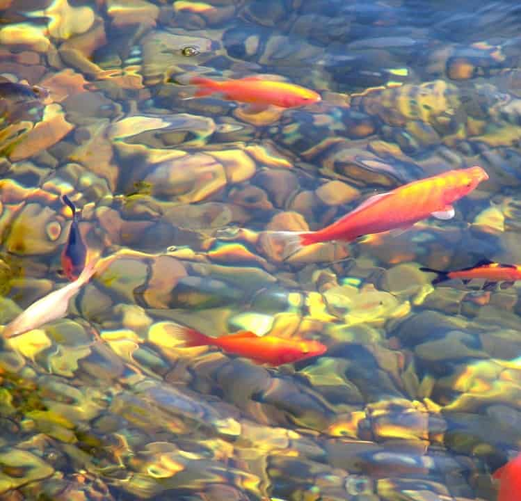 Beneficial Pond Bacteria For Koi And Goldfish