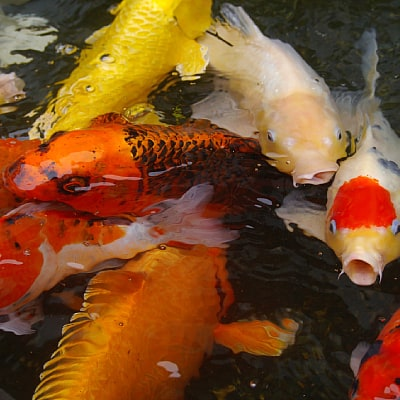 several koi benefit from high quality food