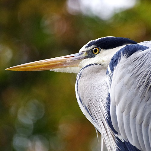a grey heron perched by a pond