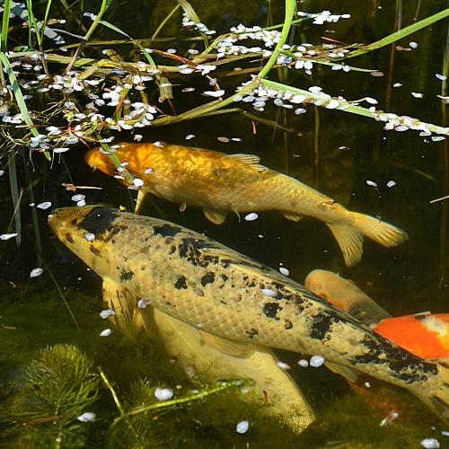 koi beneficial pond bacteria
