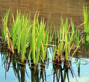 Pond plants naturally cycle water and nutrients in a pond