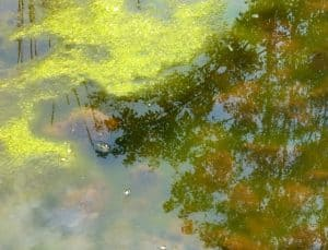 Balanced water pH will minimize algae populations in your pond