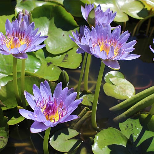 Several purple water lilies blooming in a pond