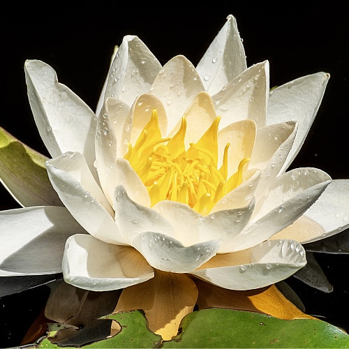 starbright water lily blooming in a pond