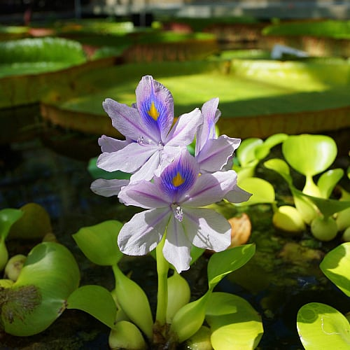 water hyacinth with purple flowers in a pond