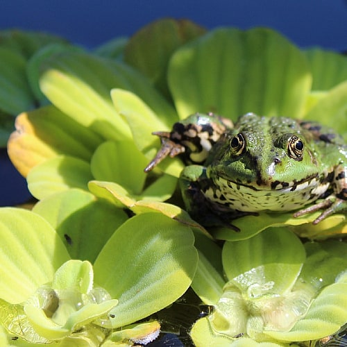 A frog sitting on water lettuce in a pond
