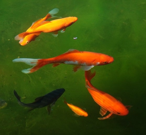 How to get rid of algae in a pond safe easy treatments for Best pond plants for goldfish