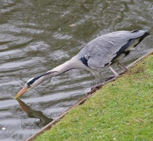 A blue heron hunting for fish in a pond
