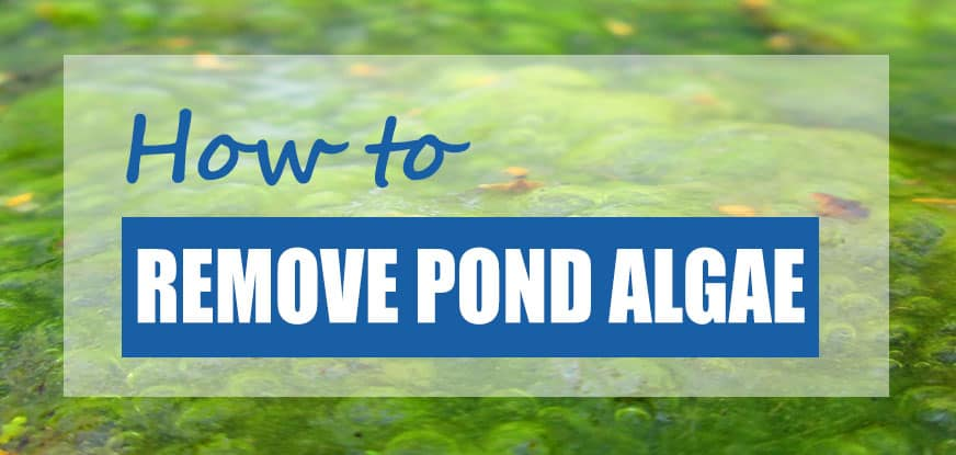 how to get rid of algae in a pond