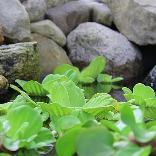 Water lettuce in a pond helps cycle nutrients