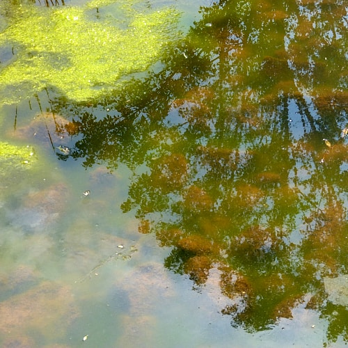 Fish pond with an algae bloom that has caused cloudy, green water