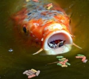 Koi eating small amount of food in winter