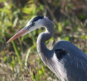 how to keep herons out of ponds