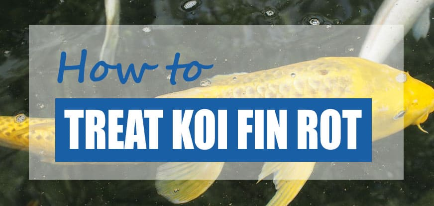 treat koi fin rot