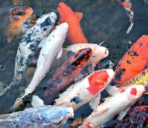 Multiple koi carp benefit from eating high quality food