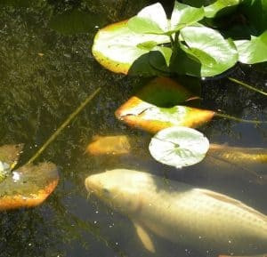 koi stress treatment guide