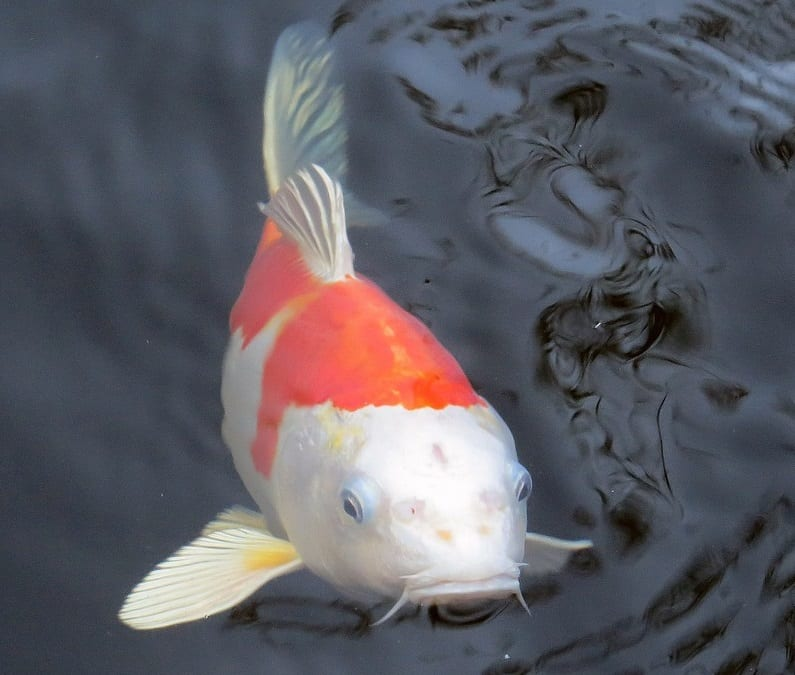 Why Are My Pond Fish Hiding? (And How to Fix it) - Pond Informer