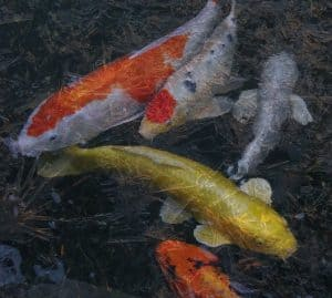 koi ice pond