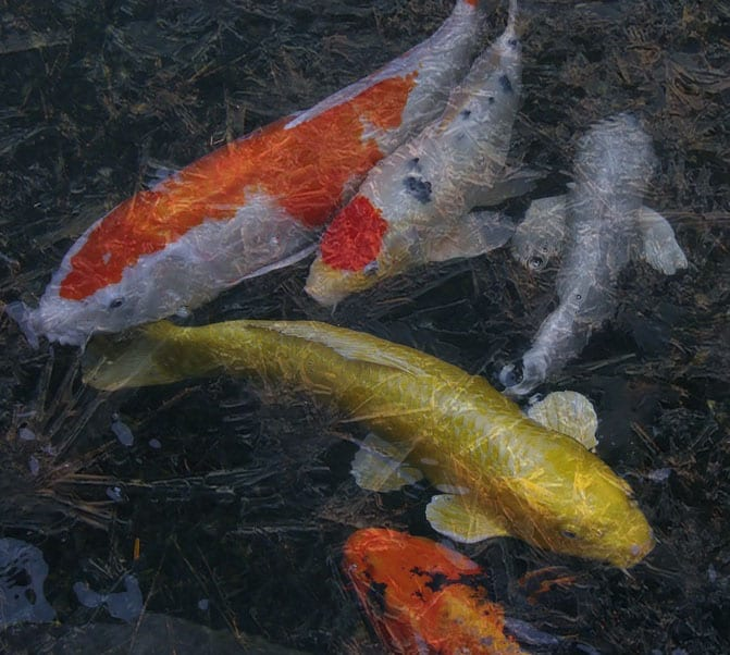 Koi pond winter care guide safe winterization tips for Pond cleaning fish