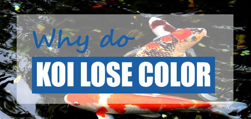 koi losing color