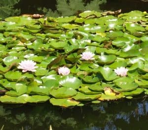 Shading ponds with plants helps prevent algae growth