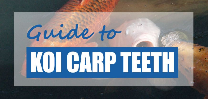 do koi have teeth
