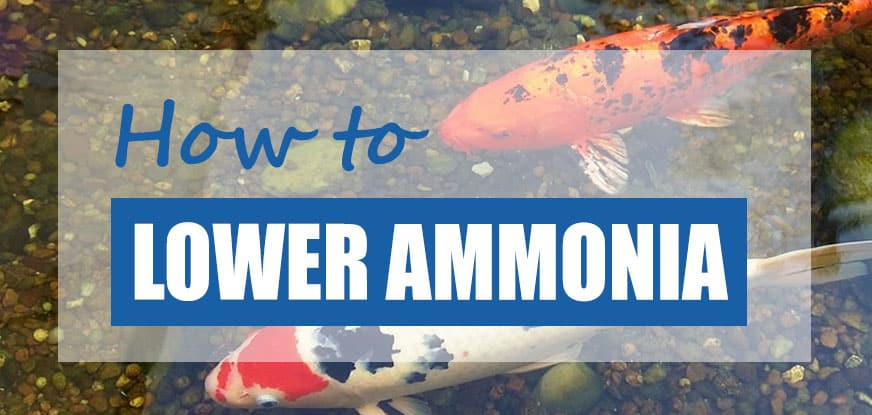 how to lower pond ammonia levels
