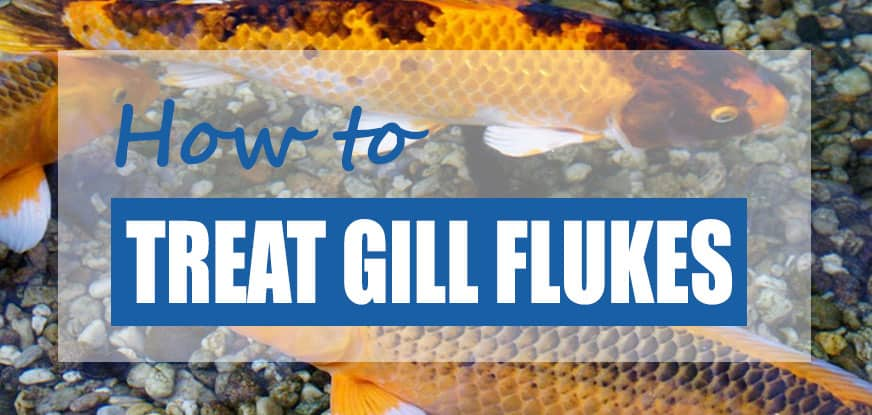 treat koi gill flukes