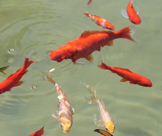 Do koi have teeth to bite pond informer for Can you eat koi fish
