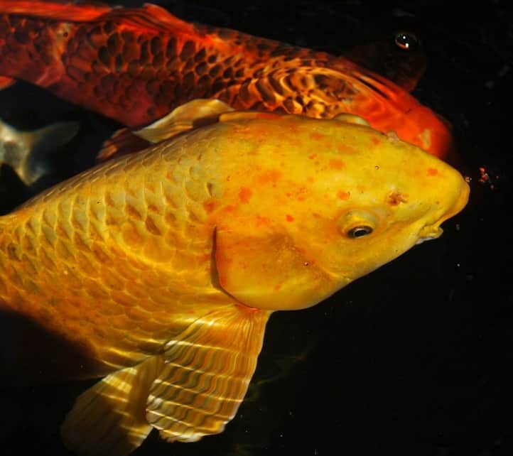 How to treat koi gill flukes fish safe treatments pond for Koi fish pond care in winter