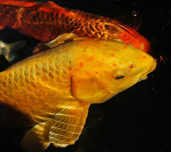 How to treat koi gill flukes fish safe treatments pond for Koi fish predators