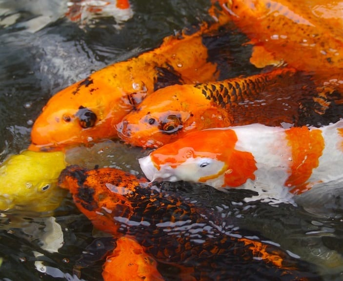 How to lower ammonia in fish ponds and keep it low for Goldfish pond liner