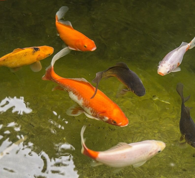 How to lower ammonia in fish ponds and keep it low for Goldfish pond filter