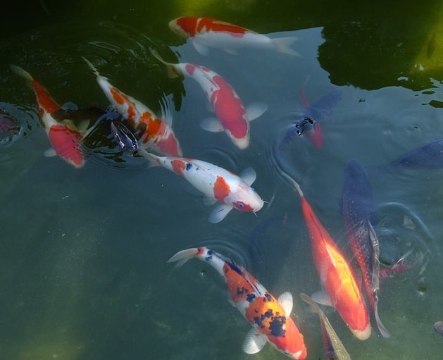 How to dechlorinate pond water safe for fish guide for Koi pond removal