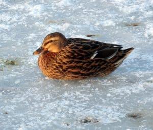 fish pond frozen in winter