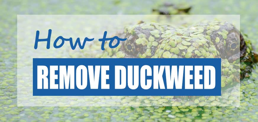 how to get rid of duckweed