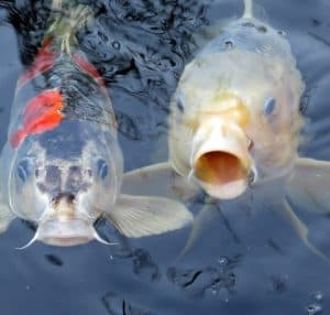 koi can become bored of their food over time