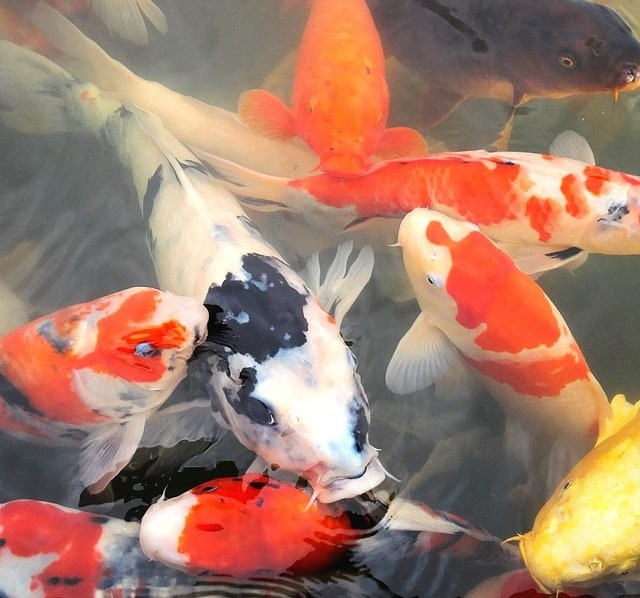 Why are my koi carp not eating and how to fix it pond for Can you eat koi fish
