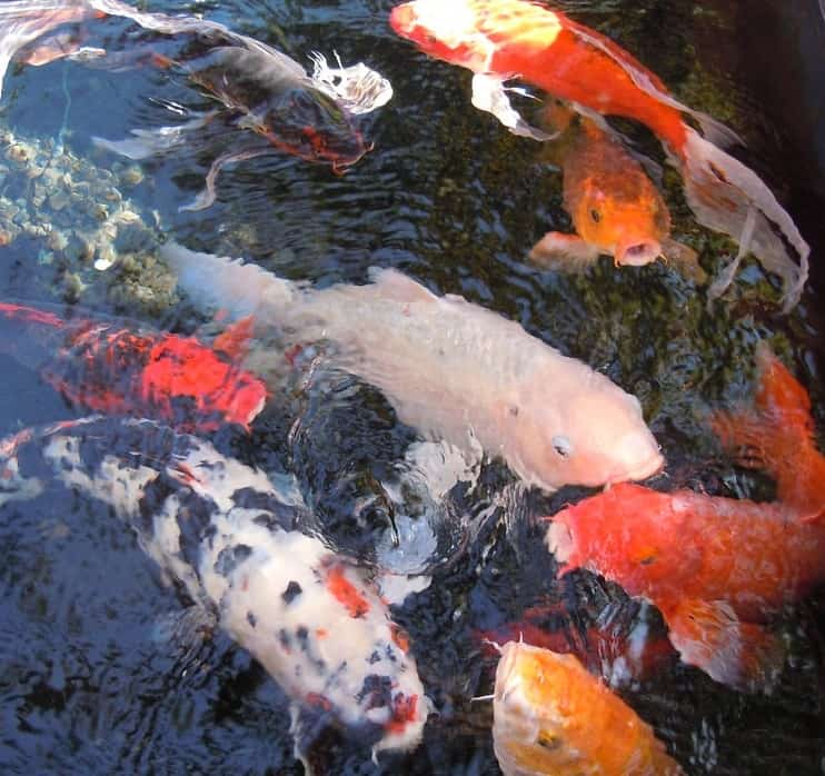 The best koi pond pumps 2018 reviews costs pond informer for Fish suitable for small pond