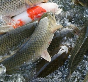 koi carp common carp fish pond