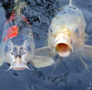 koi carp common carp benefit from pond aeration
