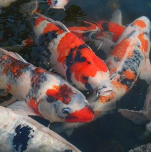best filters for koi ponds