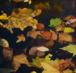 too many leaves in a pond cause water quality issues