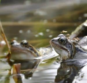 Frogs in ponds help control mosquitos numbers