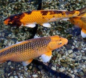 fish species that eat leeches koi eat leeches