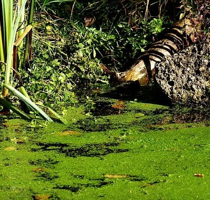 How To Use Pond Barley Straw For Algae